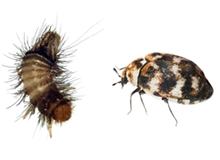 Carpet Beetles Pest Control Richmond