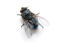 Flies Pest Control Richmond