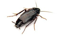oriental-cockroach-md