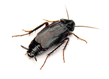 Oriental Cockroach Pest Control Richmond