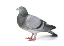 Pigeons Pest Control Richmond
