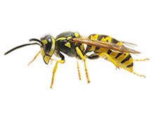 Wasps Pest Control Richmond