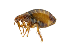 Fleas Pest Control Richmond