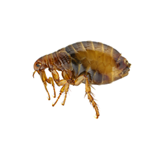 Fleas Pest Control Richmond