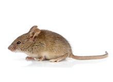 Mice Pest Control Richmond