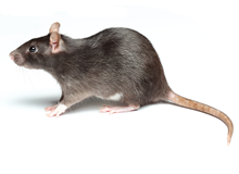 Rats Pest Control Richmond