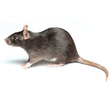 Rats Pest Control Richmond