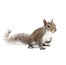 Squirrels Pest Control Richmond